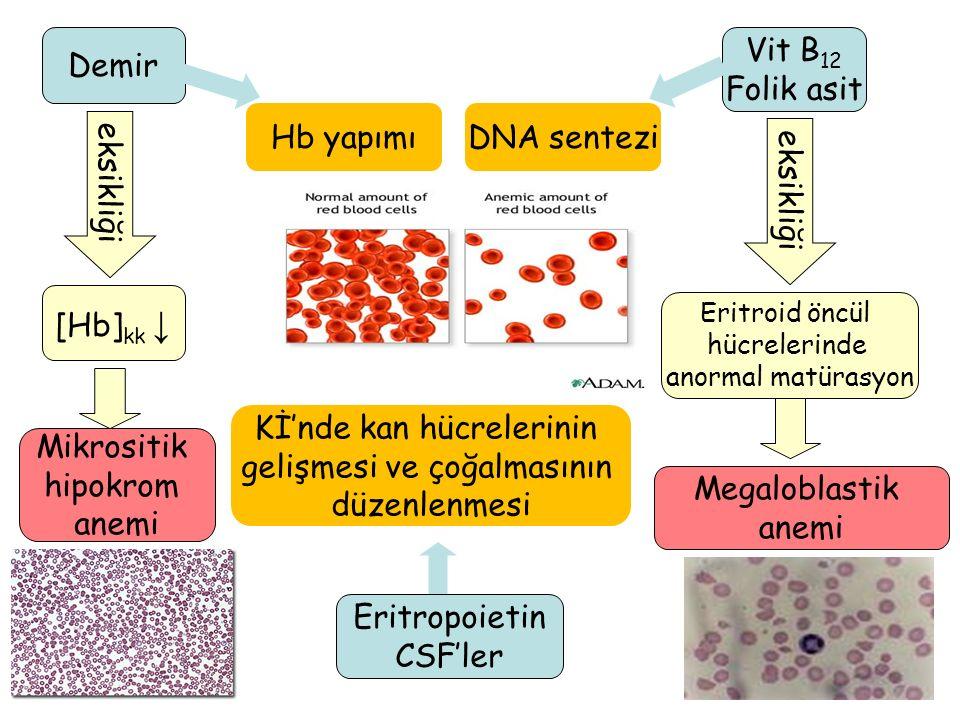 7 eksikliği Mikrositik hipokrom anemi Megaloblastik anemi [Hb] kk ↓ eksikliği Eritroid öncül hücrelerinde anormal matürasyon Demir Hb yapımı Vit B 12 Folik asit DNA sentezi Eritropoietin CSF'ler Kİ'nde kan hücrelerinin gelişmesi ve çoğalmasının düzenlenmesi