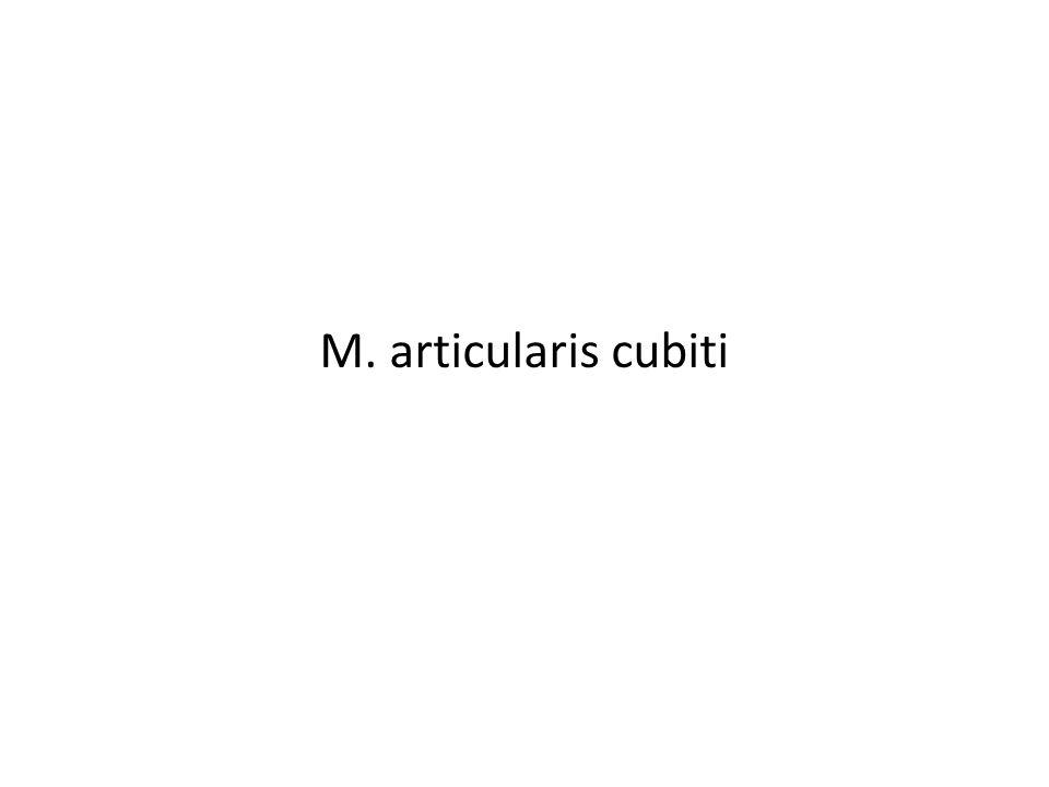 M. articularis cubiti
