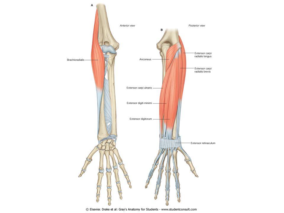 M. brachioradialis, fossa cubiti'nin lateral kenarını oluşturur