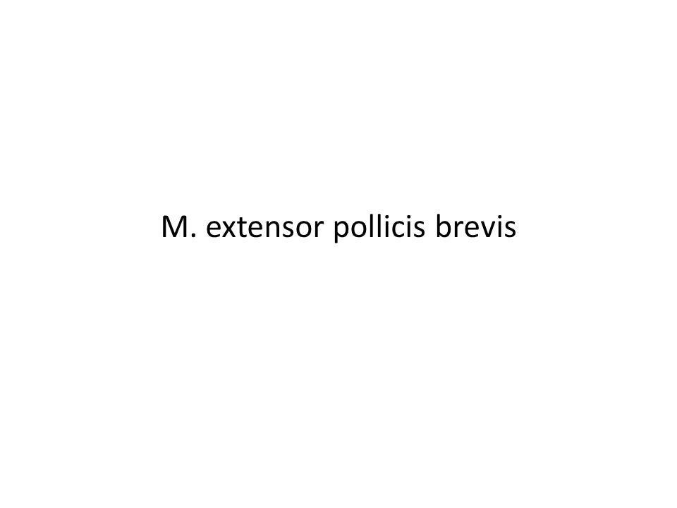 M. extensor pollicis brevis