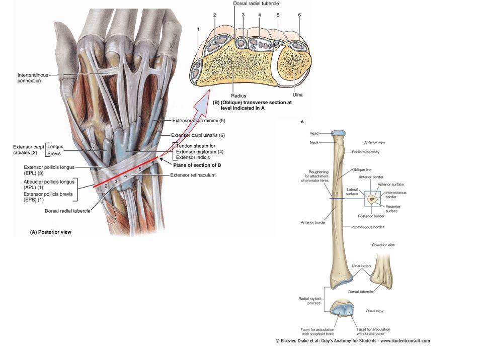 Fovea radialis (enfiye çukuru): -İçte M.extensor pollicis longus, -dışta M.