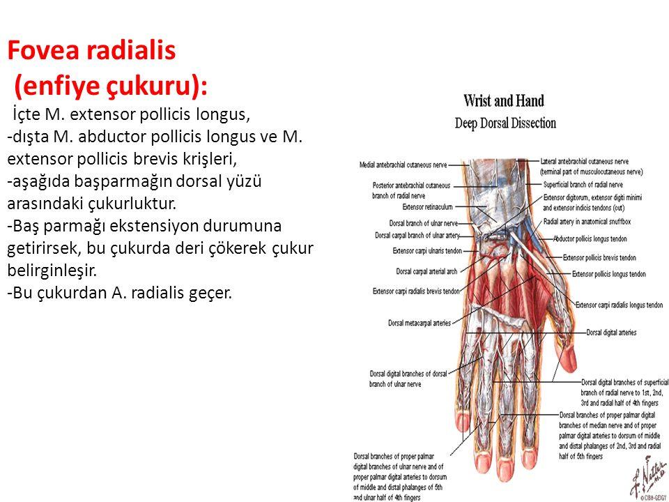 Fovea radialis (enfiye çukuru): -İçte M. extensor pollicis longus, -dışta M. abductor pollicis longus ve M. extensor pollicis brevis krişleri, -aşağıd