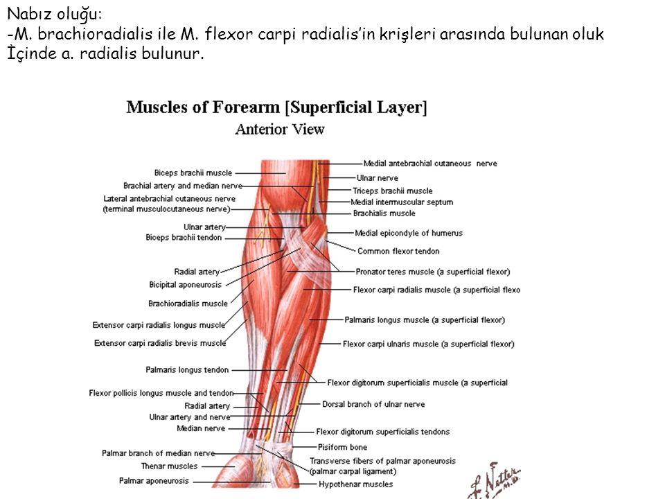 Nabız oluğu: -M. brachioradialis ile M. flexor carpi radialis'in krişleri arasında bulunan oluk İçinde a. radialis bulunur.