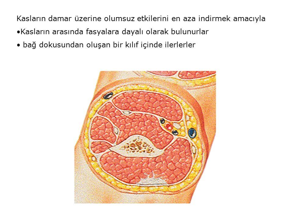 Kasların damar üzerine olumsuz etkilerini en aza indirmek amacıyla Kasların arasında fasyalara dayalı olarak bulunurlar bağ dokusundan oluşan bir kılıf içinde ilerlerler