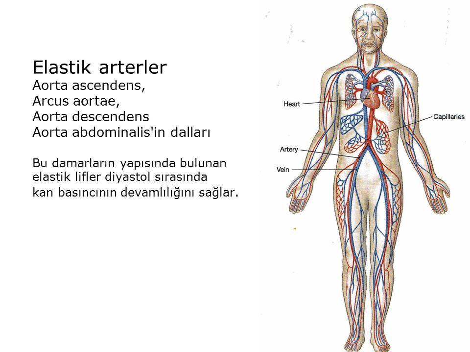 Elastik arterler Aorta ascendens, Arcus aortae, Aorta descendens Aorta abdominalis in dalları Bu damarların yapısında bulunan elastik lifler diyastol sırasında kan basıncının devamlılığını sağlar.