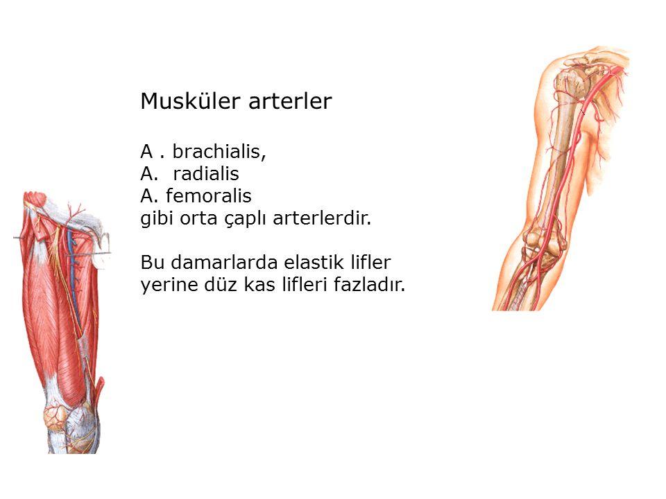Musküler arterler A. brachialis, A. radialis A. femoralis gibi orta çaplı arterlerdir.