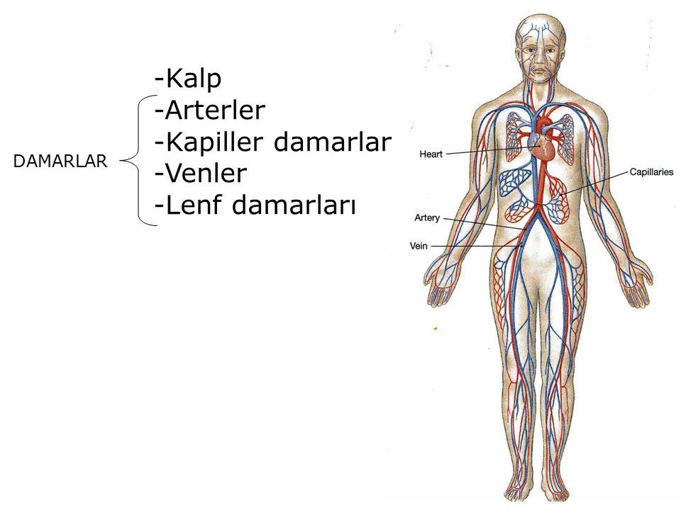 -Kalp -Arterler -Kapiller damarlar -Venler -Lenf damarları DAMARLAR