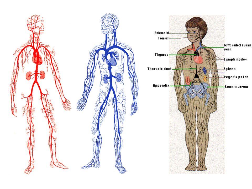 Dolaşım lenfositleri; Vücudun herhangi bir yerinde yerleşmiş lenfoid doku içinde (lenf nodları, dalak, timus ve tonsilla) bulunurlar