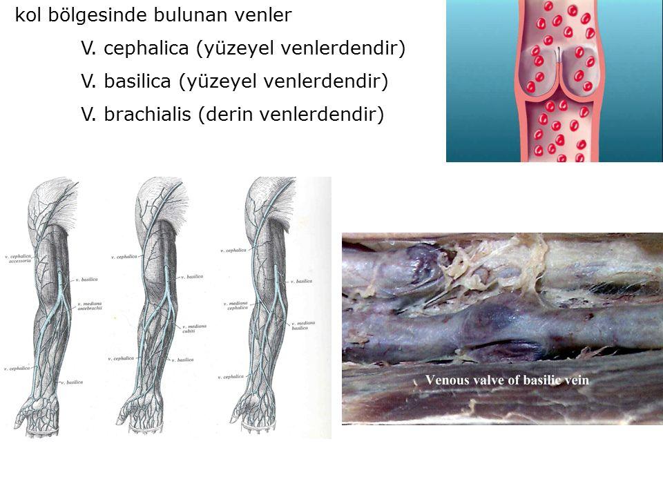 kol bölgesinde bulunan venler V. cephalica (yüzeyel venlerdendir) V.