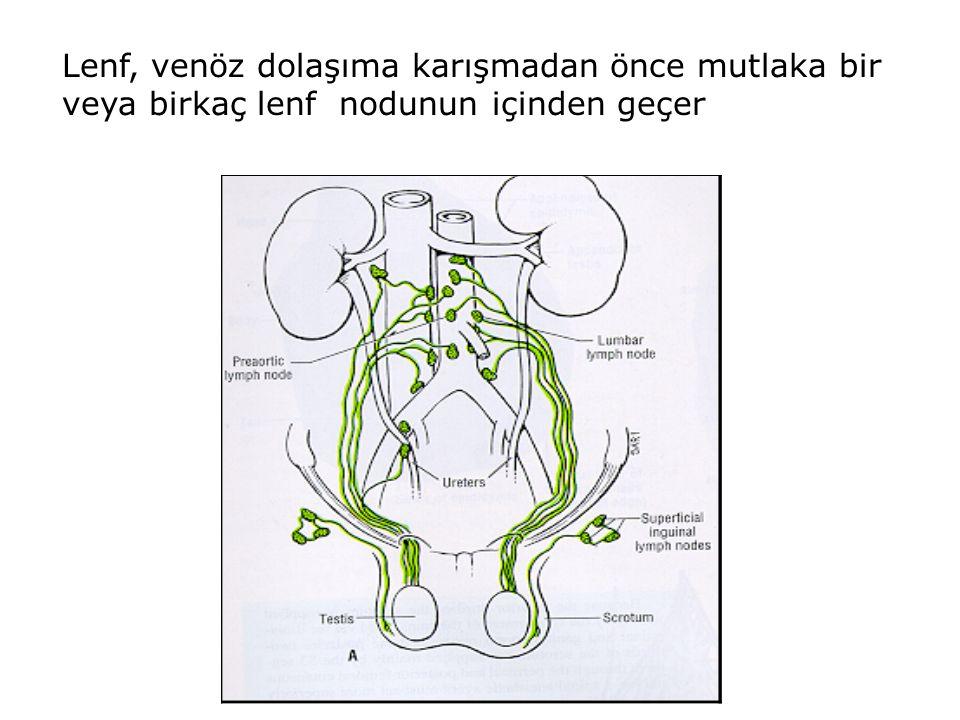 Lenf, venöz dolaşıma karışmadan önce mutlaka bir veya birkaç lenf nodunun içinden geçer