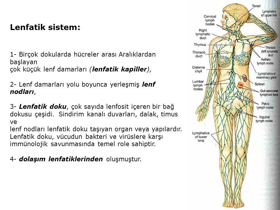 Lenfatik sistem: 1- Birçok dokularda hücreler arası Aralıklardan başlayan çok küçük lenf damarları (lenfatik kapiller), 2- Lenf damarları yolu boyunca yerleşmiş lenf nodları, 3- Lenfatik doku, çok sayıda lenfosit içeren bir bağ dokusu çeşidi.