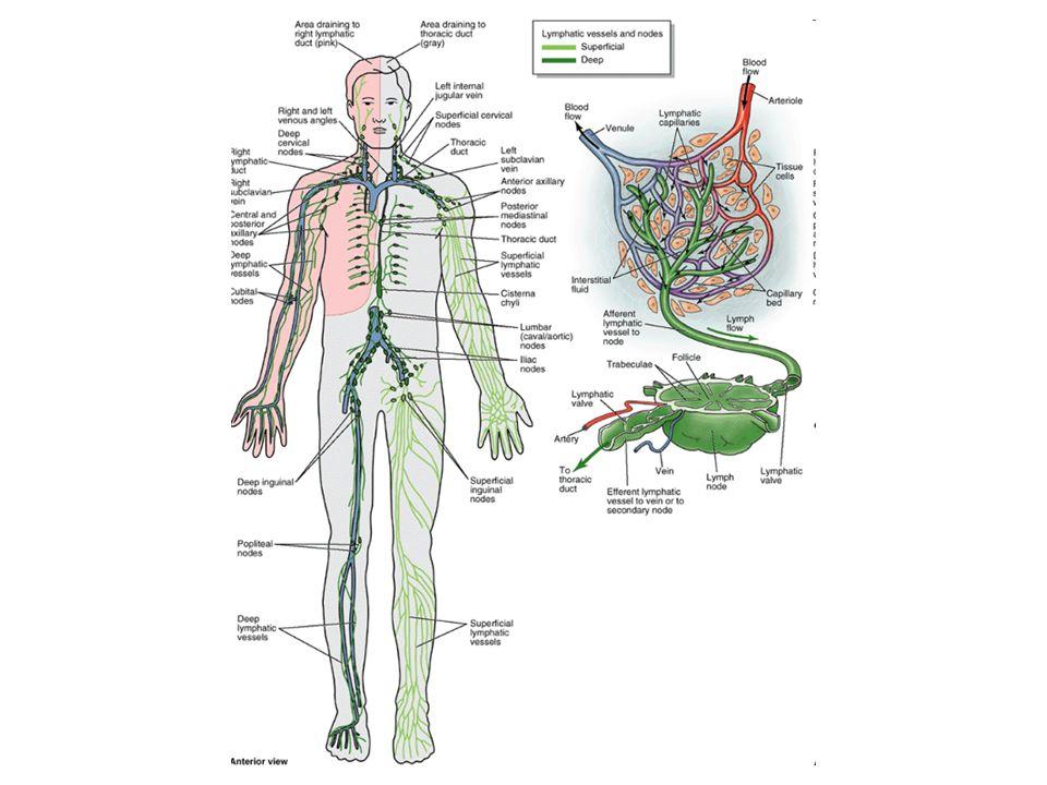 Arterioller organların küçük arterleri kapillere kadar gittikçe incelen dalları içerir.