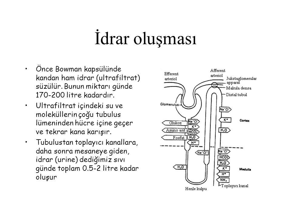 İdrar oluşması Önce Bowman kapsülünde kandan ham idrar (ultrafiltrat) süzülür. Bunun miktarı günde 170-200 litre kadardır. Ultrafiltrat içindeki su ve