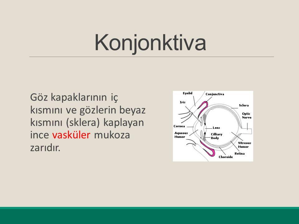 Konjonktiva Göz kapaklarının iç kısmını ve gözlerin beyaz kısmını (sklera) kaplayan ince vasküler mukoza zarıdır.