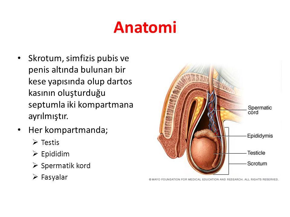 Anatomi Skrotum, simfizis pubis ve penis altında bulunan bir kese yapısında olup dartos kasının oluşturduğu septumla iki kompartmana ayrılmıştır. Her