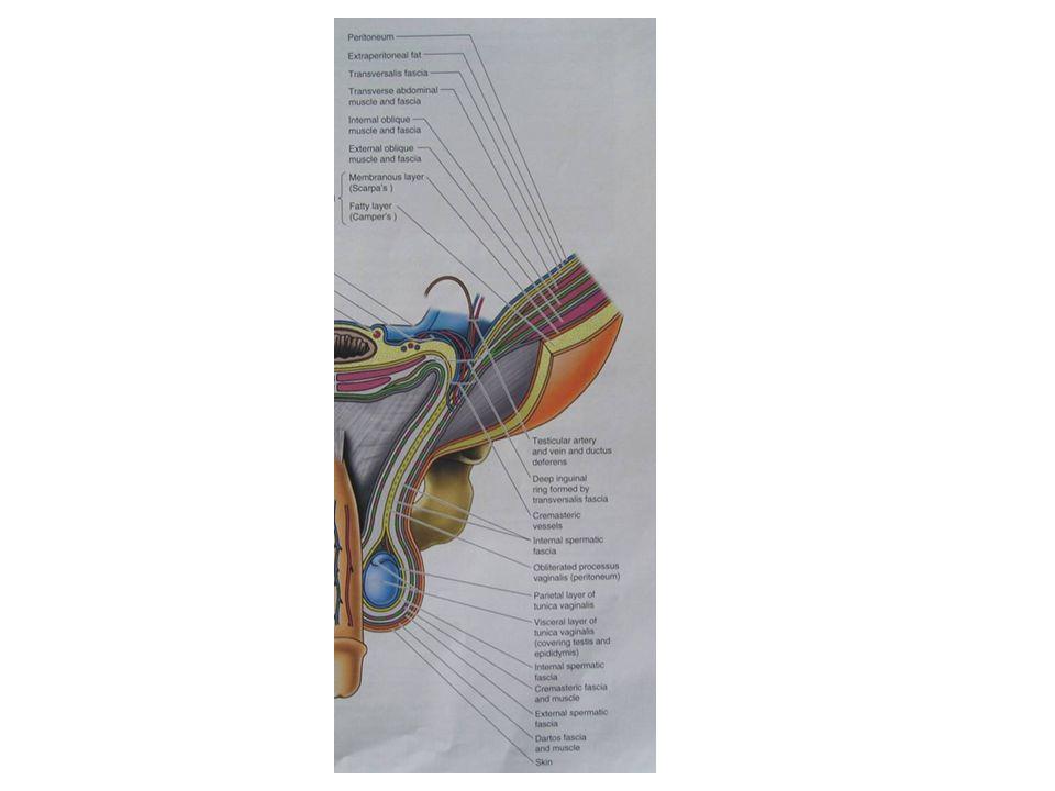 Anatomi Skrotumun arterleri  Femoral arter  İnternal pudental arter  İnferior epigastrik arter Skrotumun venleri arterleri takip eder.