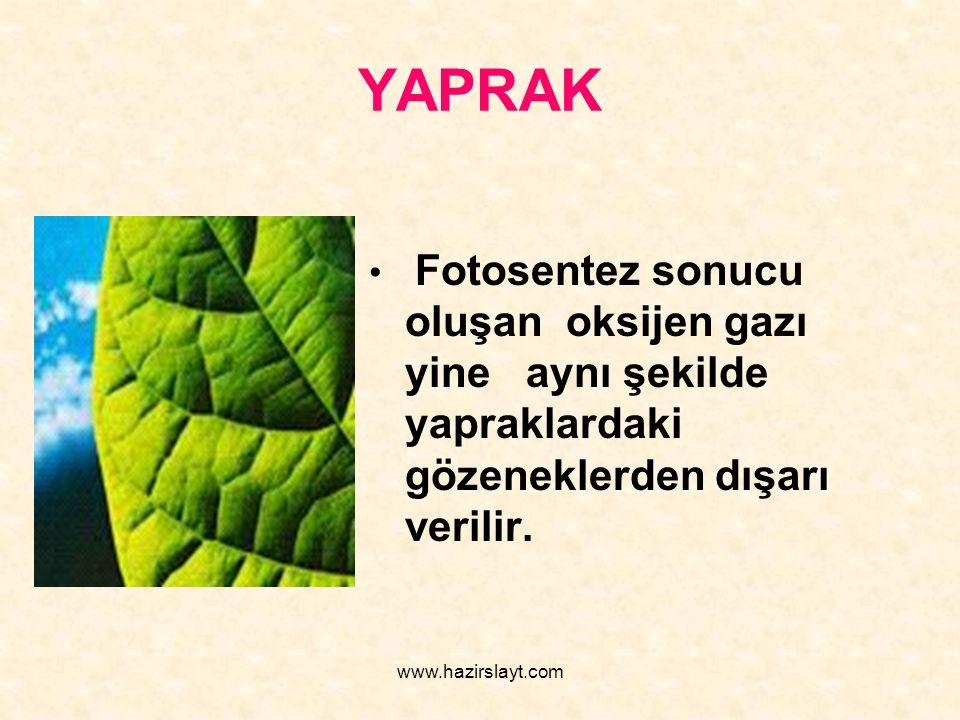 www.hazirslayt.com YAPRAK Fotosentez sonucu oluşan oksijen gazı yine aynı şekilde yapraklardaki gözeneklerden dışarı verilir.