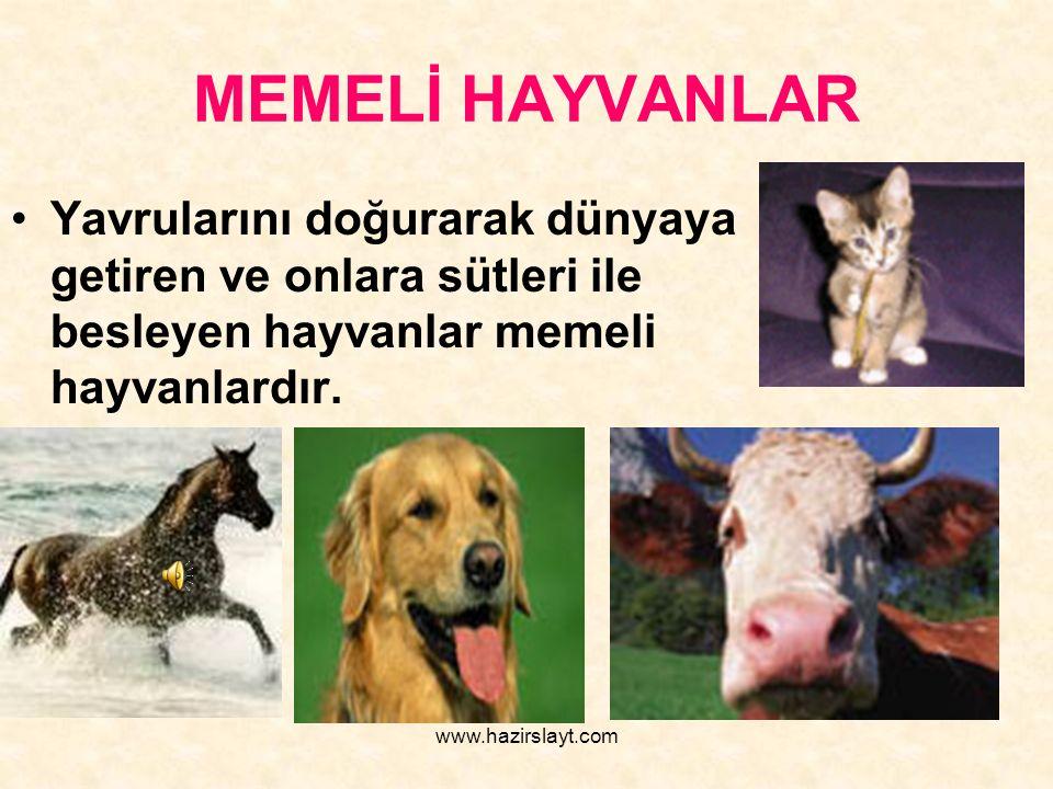 www.hazirslayt.com MEMELİ HAYVANLAR Yavrularını doğurarak dünyaya getiren ve onlara sütleri ile besleyen hayvanlar memeli hayvanlardır.