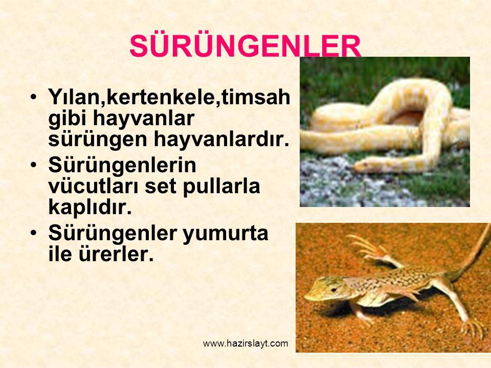 www.hazirslayt.com SÜRÜNGENLER Yılan,kertenkele,timsah gibi hayvanlar sürüngen hayvanlardır. Sürüngenlerin vücutları set pullarla kaplıdır. Sürüngenle
