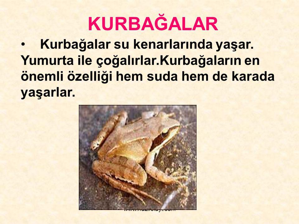 www.hazirslayt.com Kurbağalar su kenarlarında yaşar. Yumurta ile çoğalırlar.Kurbağaların en önemli özelliği hem suda hem de karada yaşarlar. KURBAĞALA