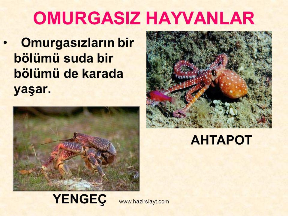 www.hazirslayt.com OMURGASIZ HAYVANLAR Omurgasızların bir bölümü suda bir bölümü de karada yaşar. AHTAPOT YENGEÇ