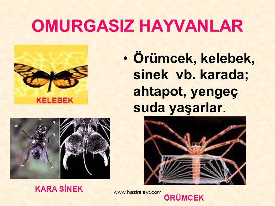 www.hazirslayt.com OMURGASIZ HAYVANLAR Örümcek, kelebek, sinek vb. karada; ahtapot, yengeç suda yaşarlar. KELEBEK KARA SİNEK ÖRÜMCEK