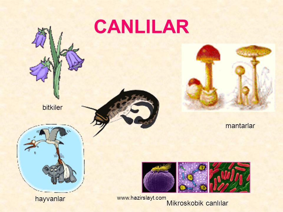 www.hazirslayt.com CANLILAR bitkiler hayvanlar Mikroskobik canlılar mantarlar