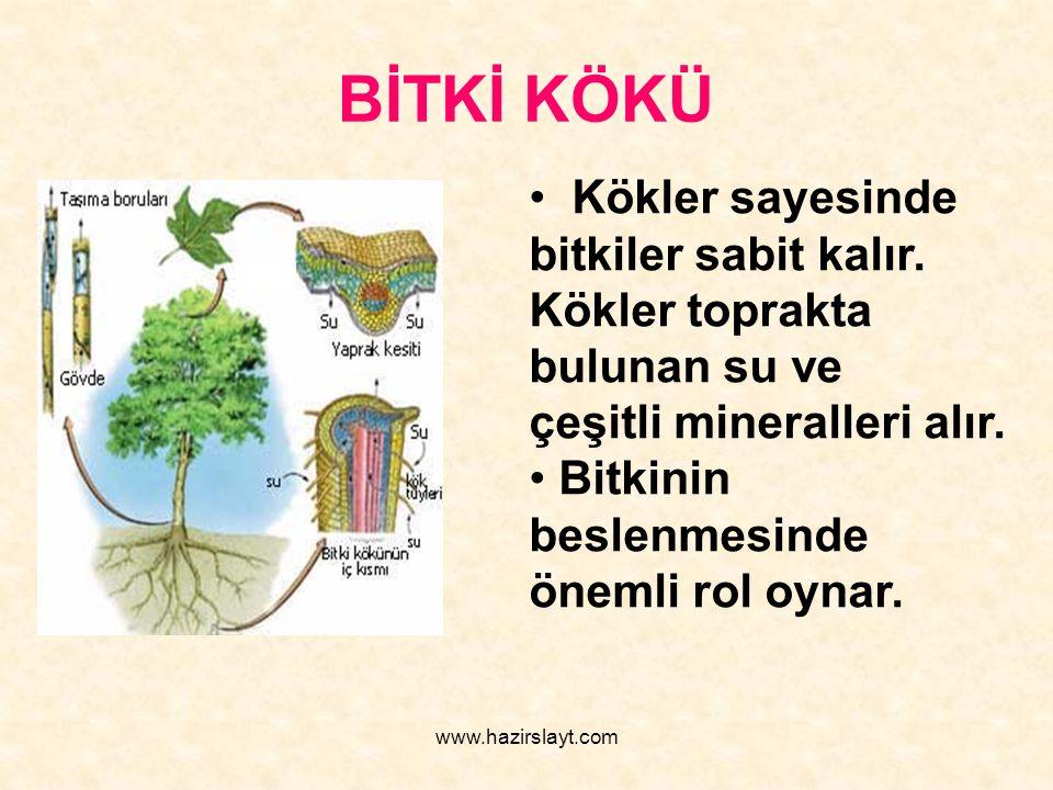 www.hazirslayt.com BİTKİ KÖKÜ Kökler sayesinde bitkiler sabit kalır. Kökler toprakta bulunan su ve çeşitli mineralleri alır. Bitkinin beslenmesinde ön