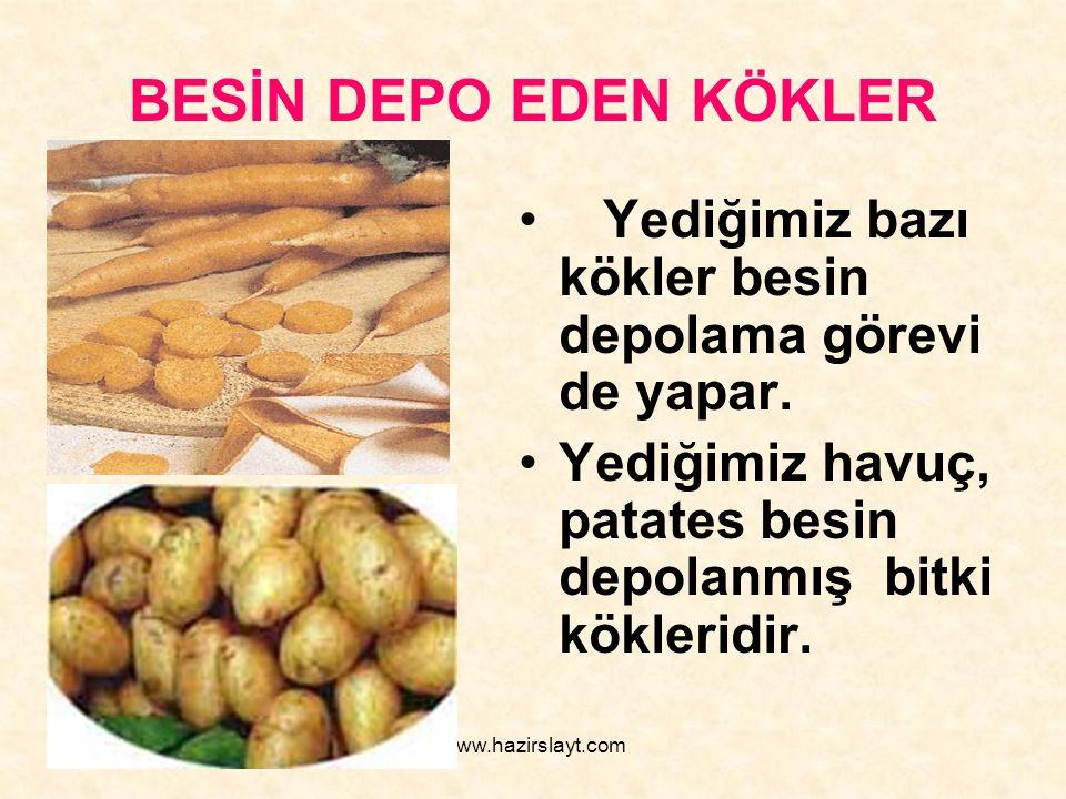 www.hazirslayt.com BESİN DEPO EDEN KÖKLER Yediğimiz bazı kökler besin depolama görevi de yapar. Yediğimiz havuç, patates besin depolanmış bitki kökler