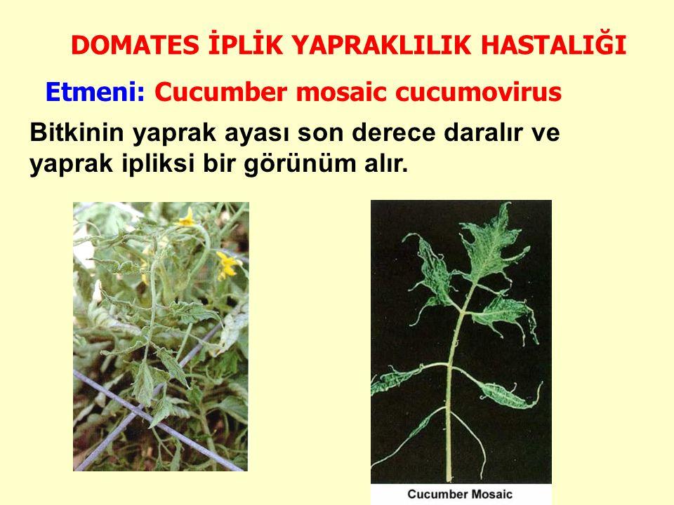 DOMATES İPLİK YAPRAKLILIK HASTALIĞI Bitkinin yaprak ayası son derece daralır ve yaprak ipliksi bir görünüm alır.