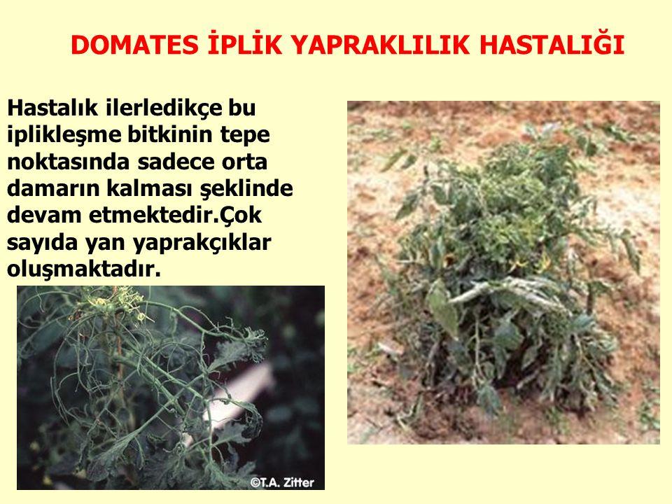 DOMATES İPLİK YAPRAKLILIK HASTALIĞI Hastalık ilerledikçe bu iplikleşme bitkinin tepe noktasında sadece orta damarın kalması şeklinde devam etmektedir.Çok sayıda yan yaprakçıklar oluşmaktadır.