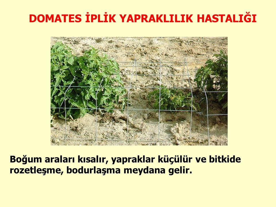 Boğum araları kısalır, yapraklar küçülür ve bitkide rozetleşme, bodurlaşma meydana gelir.