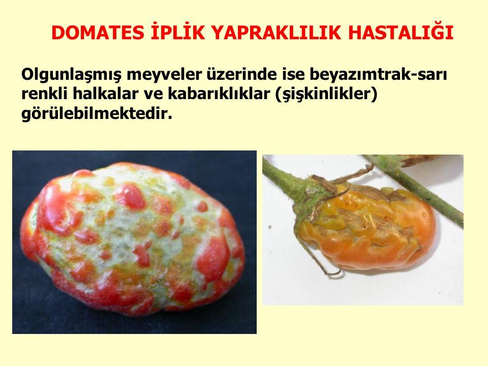 Olgunlaşmış meyveler üzerinde ise beyazımtrak-sarı renkli halkalar ve kabarıklıklar (şişkinlikler) görülebilmektedir.
