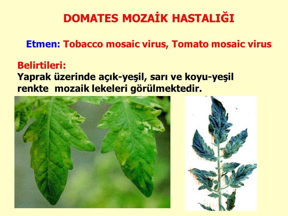 DOMATES MOZAİK HASTALIĞI Etmen: Tobacco mosaic virus, Tomato mosaic virus Belirtileri: Yaprak üzerinde açık-yeşil, sarı ve koyu-yeşil renkte mozaik lekeleri görülmektedir.