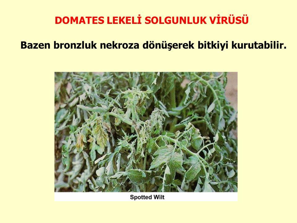 DOMATES LEKELİ SOLGUNLUK VİRÜSÜ Bazen bronzluk nekroza dönüşerek bitkiyi kurutabilir.