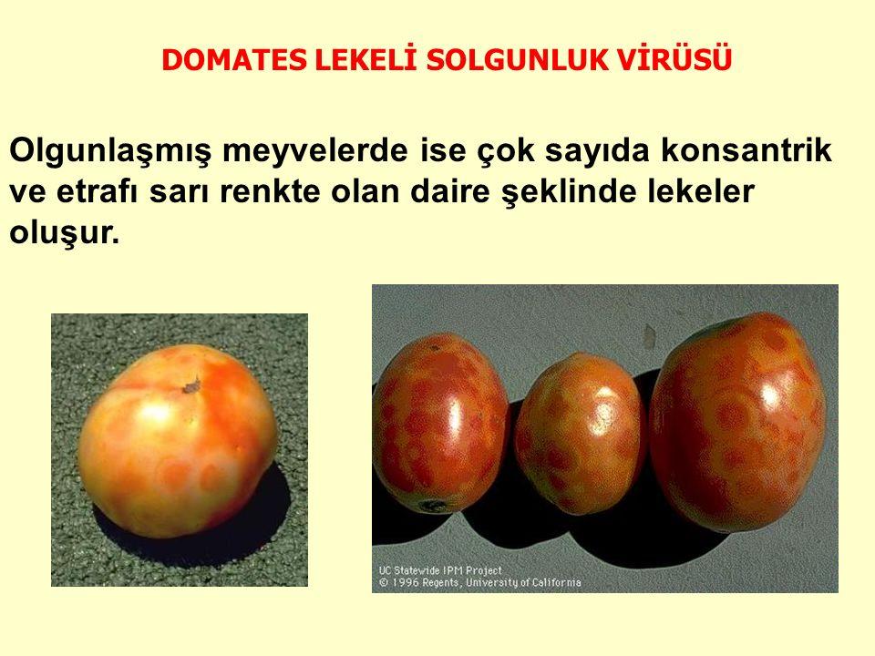 Olgunlaşmış meyvelerde ise çok sayıda konsantrik ve etrafı sarı renkte olan daire şeklinde lekeler oluşur.