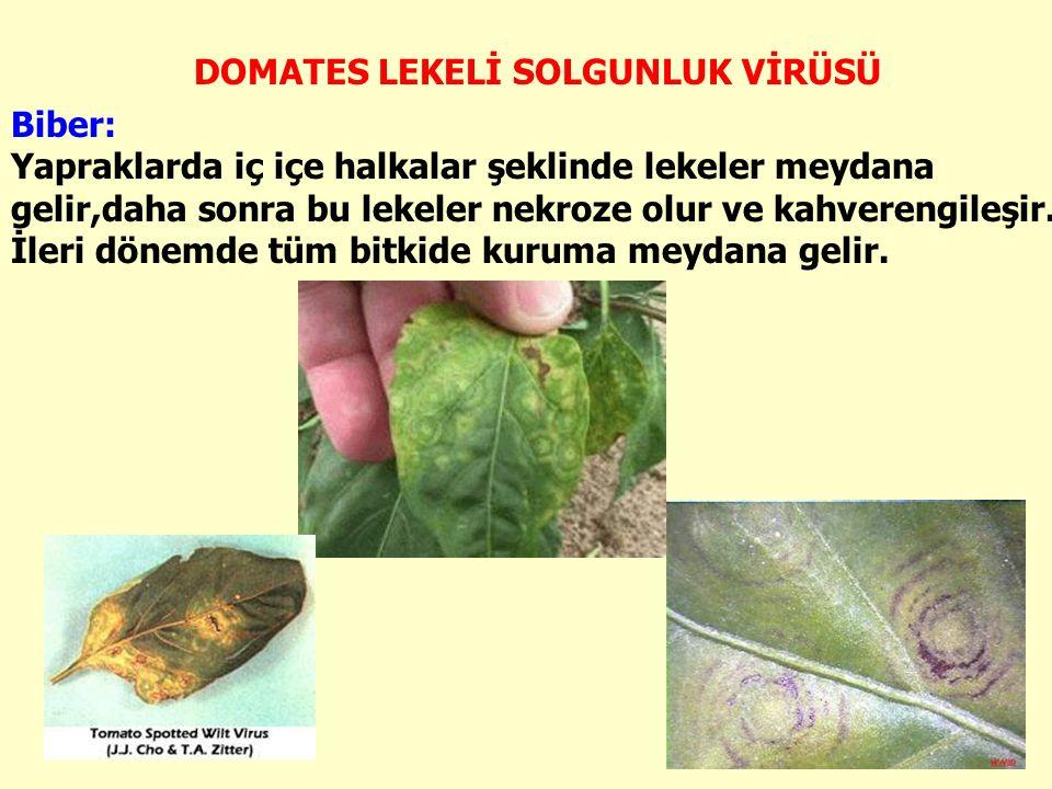 Biber: Yapraklarda iç içe halkalar şeklinde lekeler meydana gelir,daha sonra bu lekeler nekroze olur ve kahverengileşir.