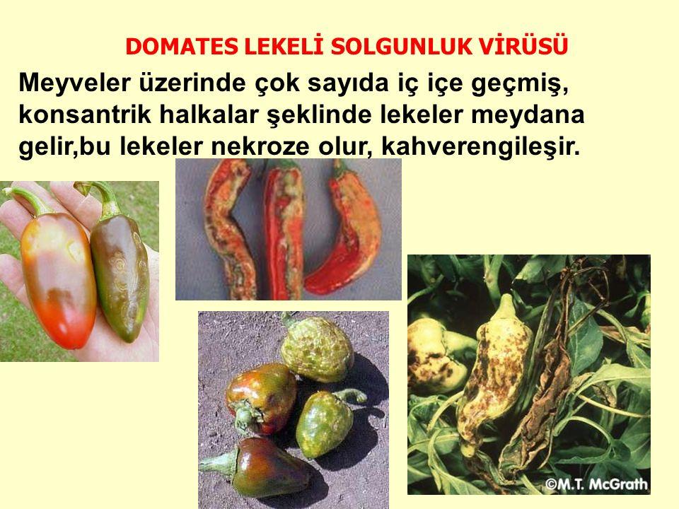 DOMATES LEKELİ SOLGUNLUK VİRÜSÜ Meyveler üzerinde çok sayıda iç içe geçmiş, konsantrik halkalar şeklinde lekeler meydana gelir,bu lekeler nekroze olur, kahverengileşir.