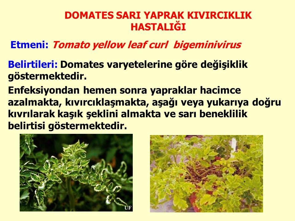 DOMATES SARI YAPRAK KIVIRCIKLIK HASTALIĞI Etmeni: Tomato yellow leaf curl bigeminivirus Belirtileri: Domates varyetelerine göre değişiklik göstermektedir.