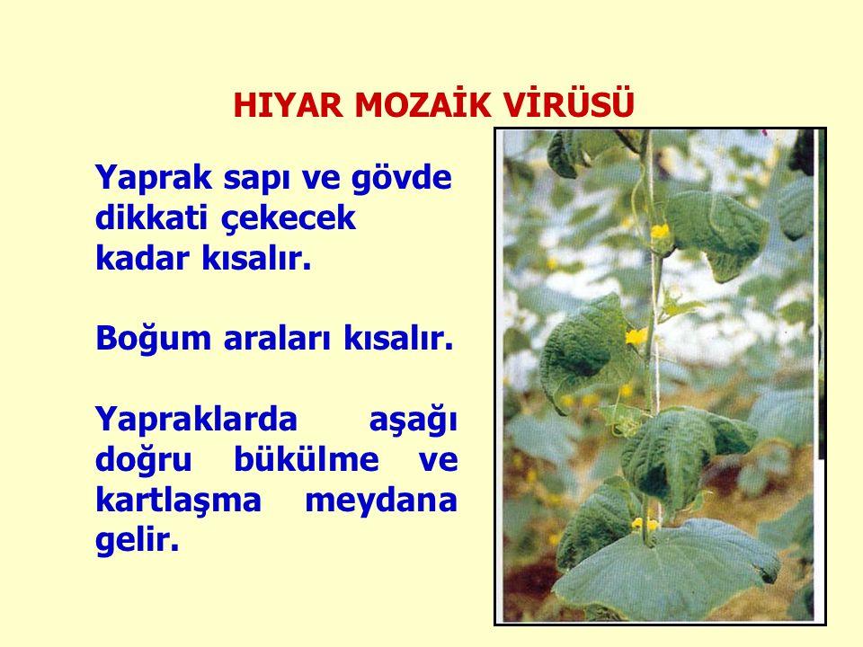 HIYAR MOZAİK VİRÜSÜ Yaprak sapı ve gövde dikkati çekecek kadar kısalır.
