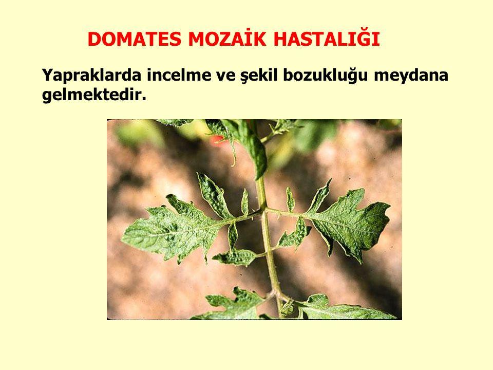 Geç dönem infeksiyonları ise yeni meyve tutumunu önlemekte ve mevcut olan meyvelerin olgunlaşması gecikmektedir.