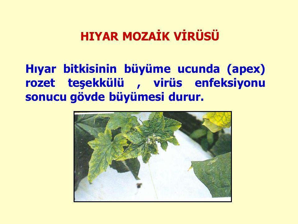 HIYAR MOZAİK VİRÜSÜ Hıyar bitkisinin büyüme ucunda (apex) rozet teşekkülü, virüs enfeksiyonu sonucu gövde büyümesi durur.