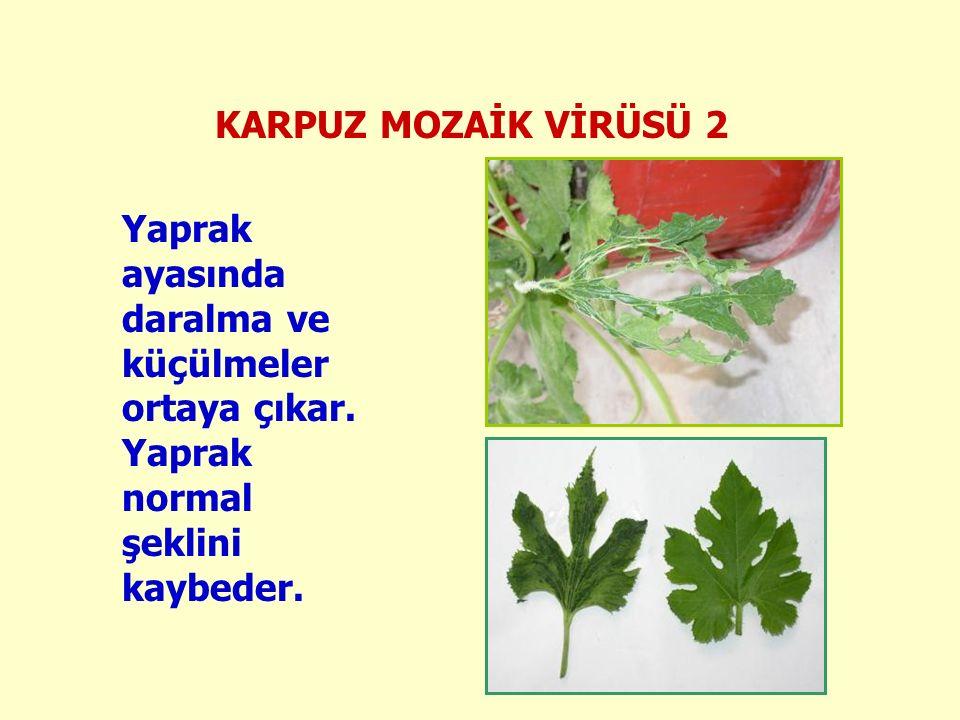 Yaprak ayasında daralma ve küçülmeler ortaya çıkar. Yaprak normal şeklini kaybeder.