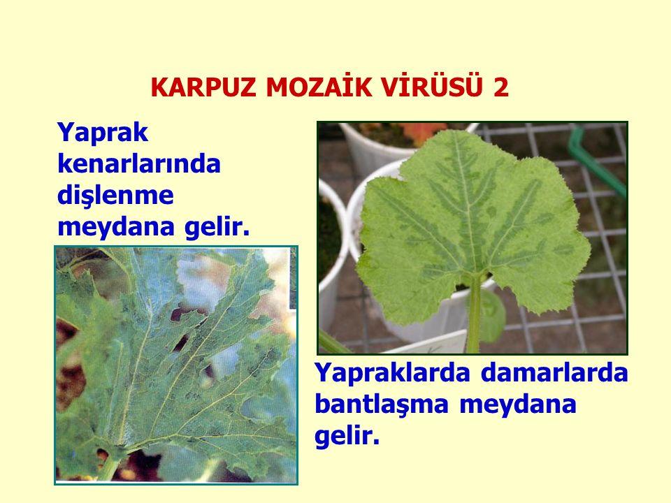 KARPUZ MOZAİK VİRÜSÜ 2 Yapraklarda damarlarda bantlaşma meydana gelir.