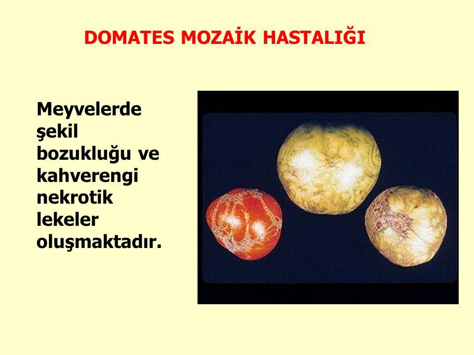 Meyvelerde şekil bozukluğu ve kahverengi nekrotik lekeler oluşmaktadır. DOMATES MOZAİK HASTALIĞI