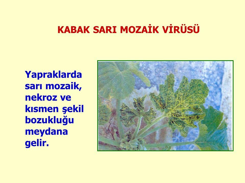 KABAK SARI MOZAİK VİRÜSÜ Yapraklarda sarı mozaik, nekroz ve kısmen şekil bozukluğu meydana gelir.