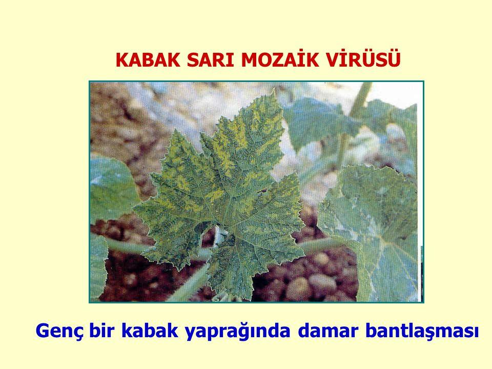 KABAK SARI MOZAİK VİRÜSÜ Genç bir kabak yaprağında damar bantlaşması