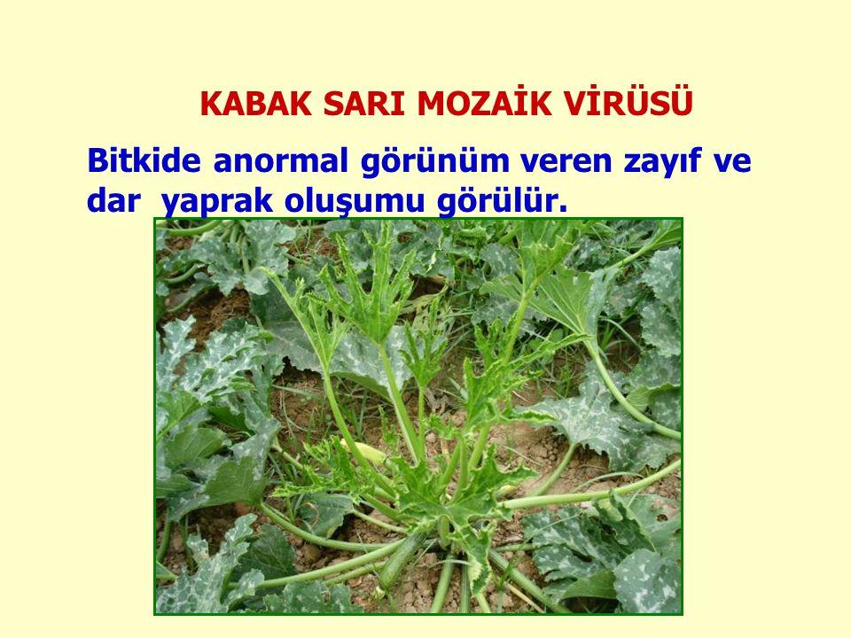 KABAK SARI MOZAİK VİRÜSÜ Bitkide anormal görünüm veren zayıf ve dar yaprak oluşumu görülür.