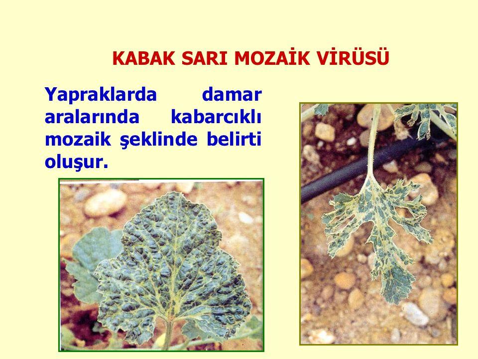KABAK SARI MOZAİK VİRÜSÜ Yapraklarda damar aralarında kabarcıklı mozaik şeklinde belirti oluşur.