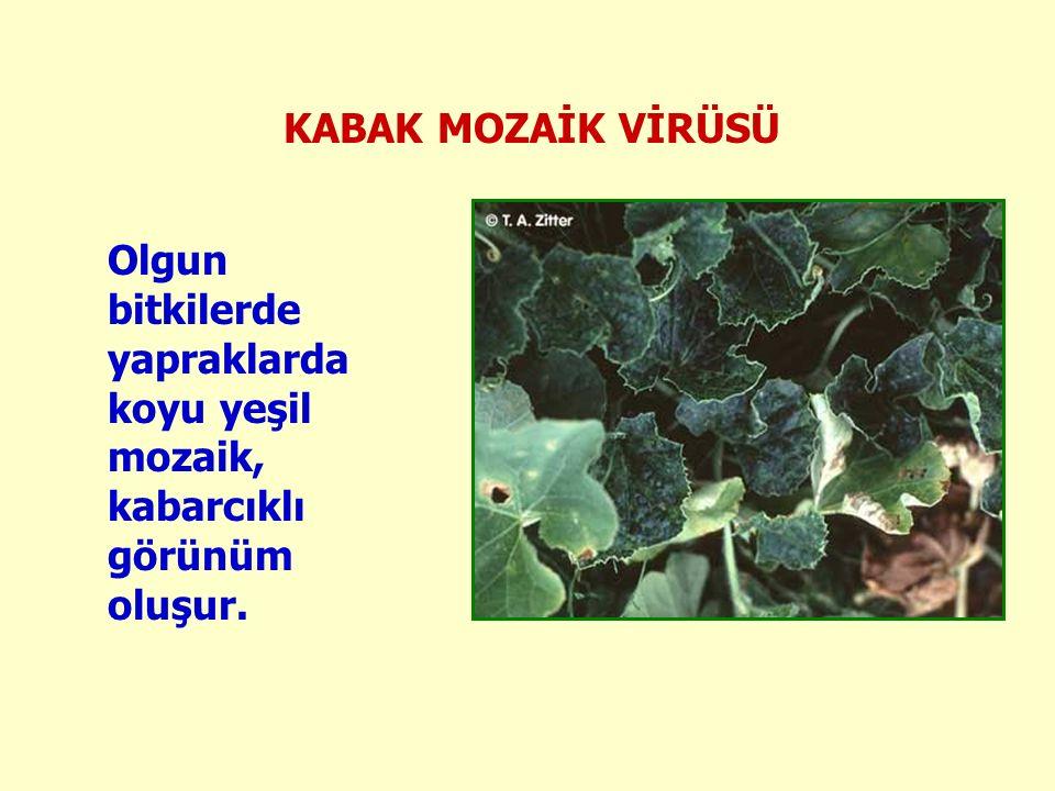 Olgun bitkilerde yapraklarda koyu yeşil mozaik, kabarcıklı görünüm oluşur. KABAK MOZAİK VİRÜSÜ